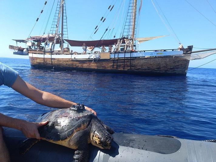 En la segunda mitad de la campaña se van a marcar con dispositivos de seguimiento satelital aportados por la Fundación Reina Sofía cuatro tortugas caguamas
