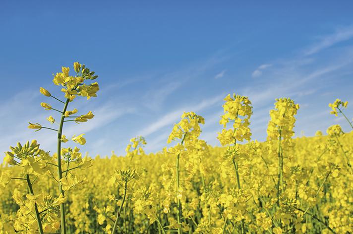 Biocombustible: a partir de semillas de higuerilla